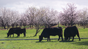 Lowline Cattle and Orchard